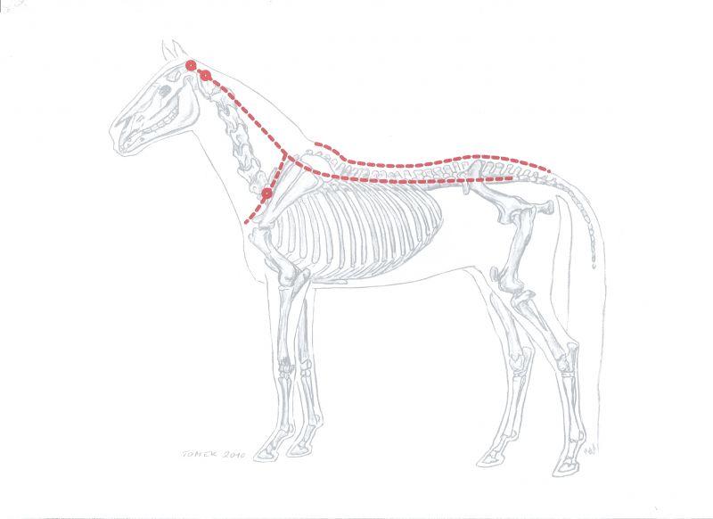 Akupunktur, Chiropraktik, Osteopathie, Pferde, Tierarzt